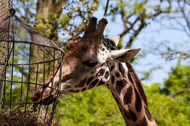 Fressende Giraffe